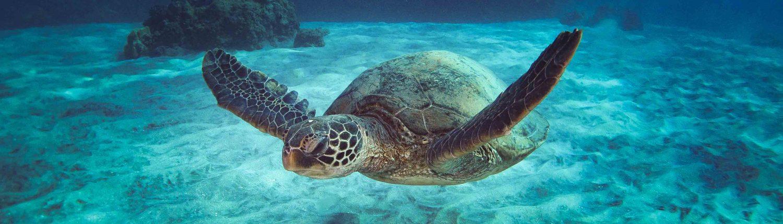Maui Turtle Snorkeling Vacation Adventure