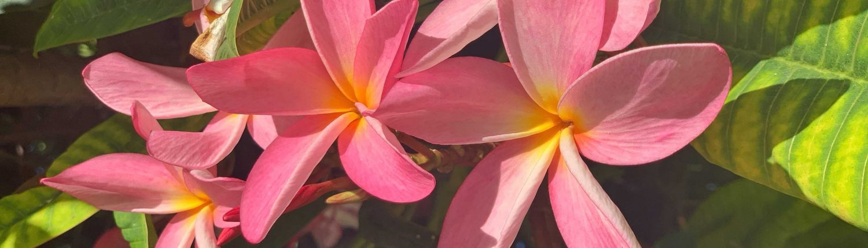 Maui Vacation Plumerias